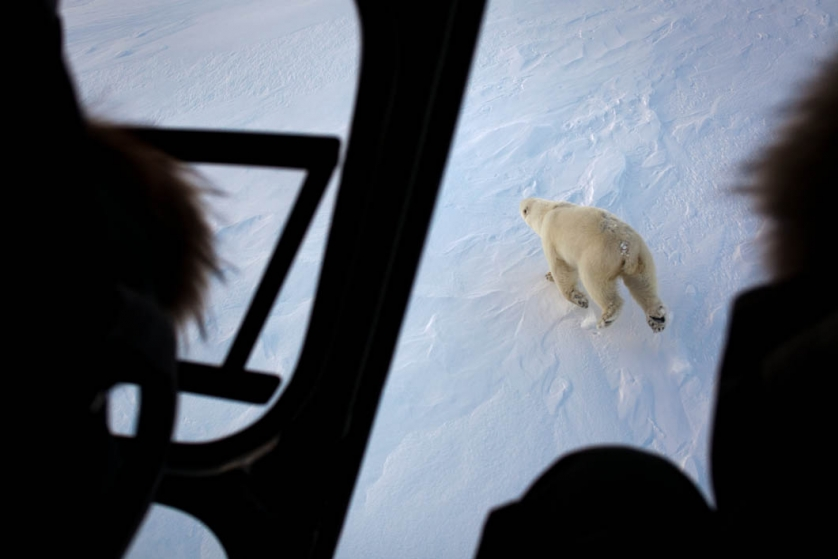 An adult bear is viewed through the open door of a helicopter, ...