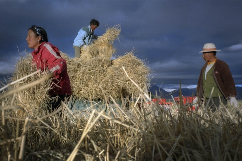 Tibetans harvest their barley crop. it's main use is to be roasted, mixed with water, beer or tea and served as Tsampa - a staple diet in central Tibet. This image is taken at the foot of the Himalayas in a small village called Tingri.