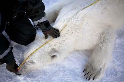 Measuring an adult bear on the ice